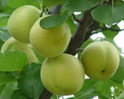 旬阳荷包杏