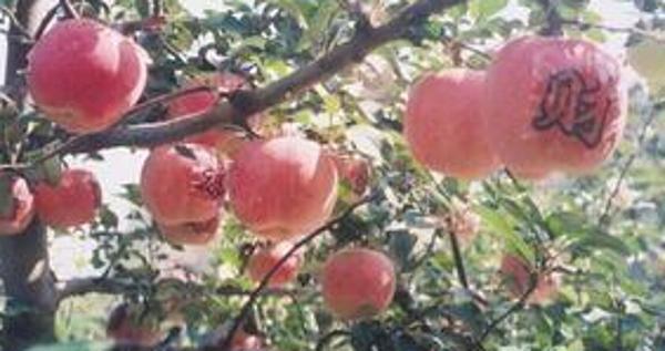 印台区九州龙苹果[图]