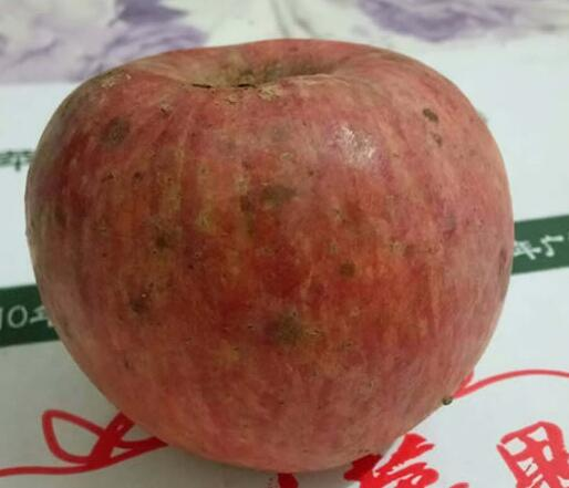 洛川县生态苹果[图]